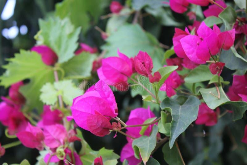 Flores da romã fotos de stock