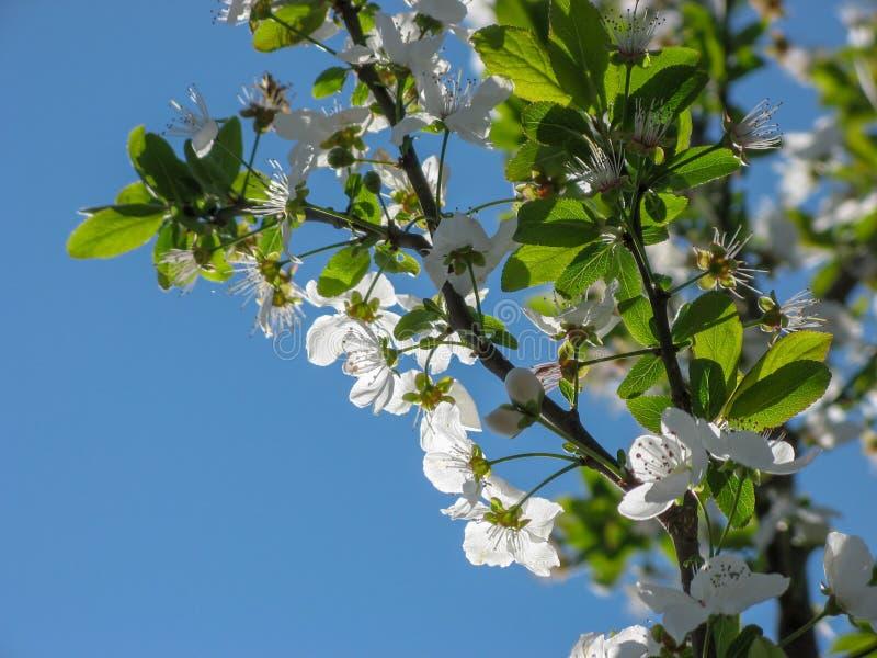 Flores da ?rvore de ameixa com fundo do c?u azul fotos de stock