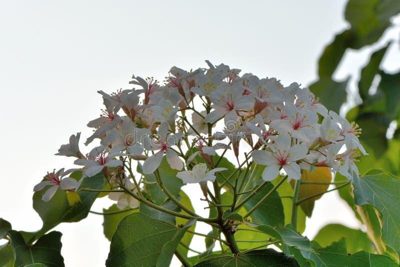 Flores da ?rvore de Tung fotografia de stock