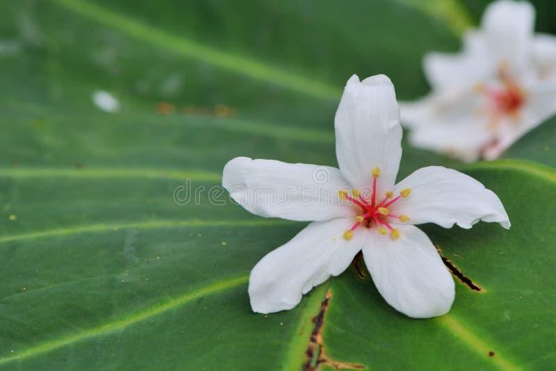 Flores da ?rvore de Tung fotos de stock