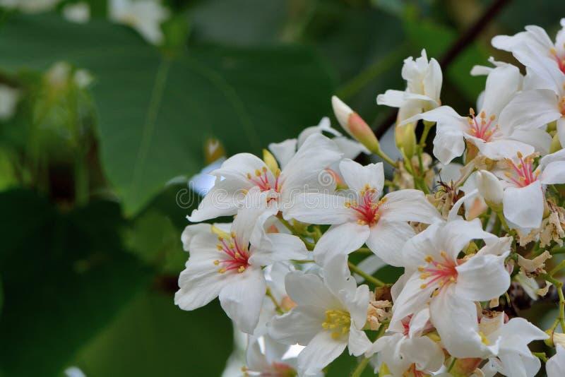 Flores da ?rvore de Tung foto de stock royalty free