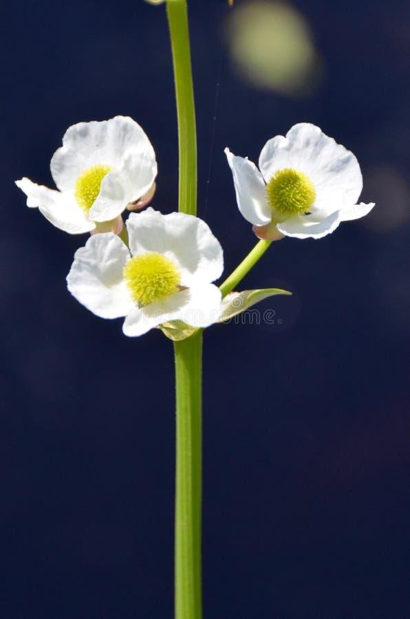 Flores da seta foto de stock