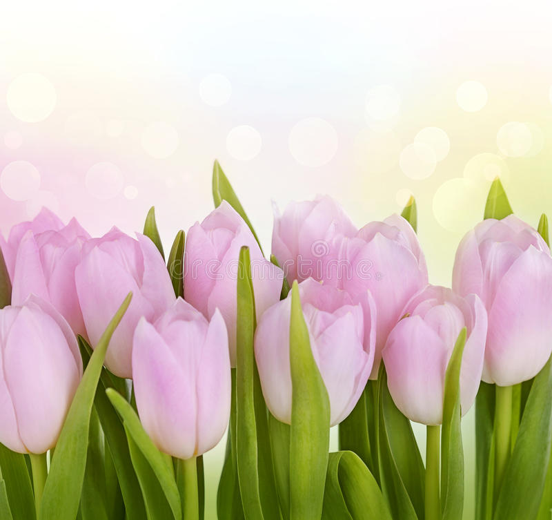 Flores da tulipa imagens de stock royalty free
