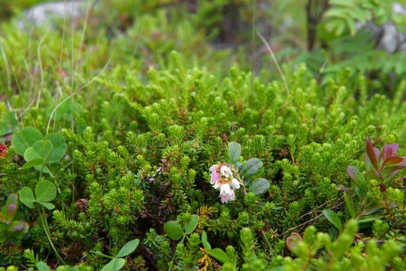 Flores da tundra imagem de stock