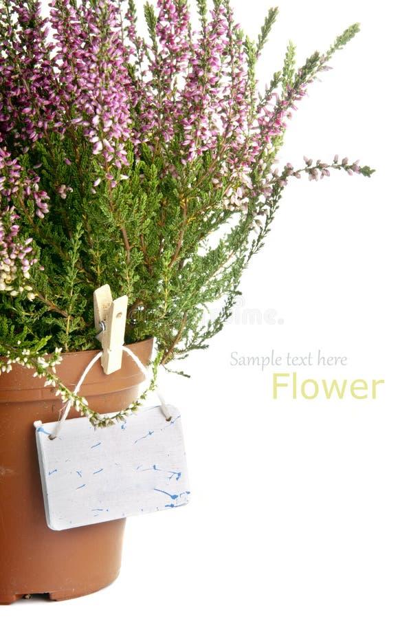 Flores da urze roxa imagens de stock