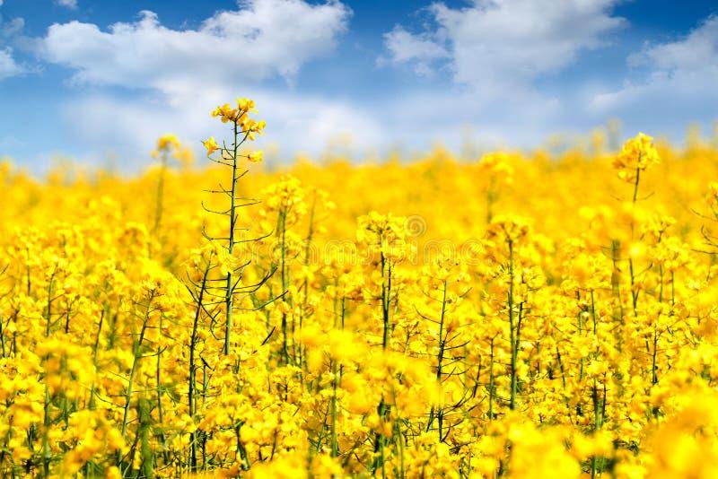 Flores da violação foto de stock royalty free