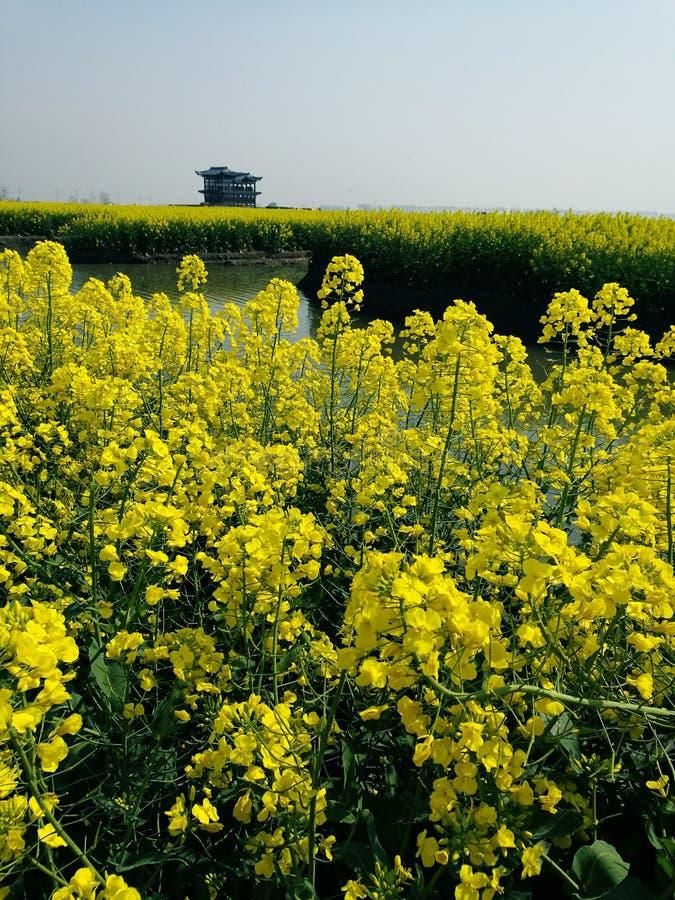 Flores da violação de Xinghua imagem de stock