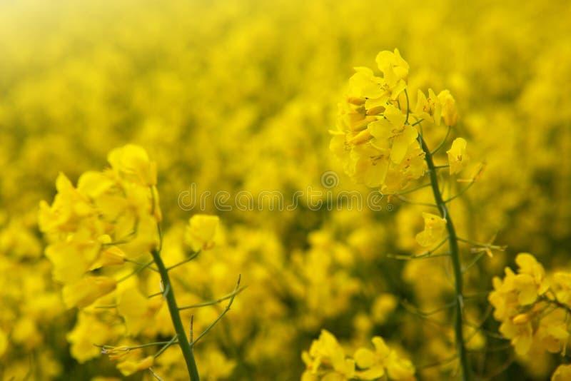 Flores da violação em um fundo amarelo do borrão foto de stock royalty free