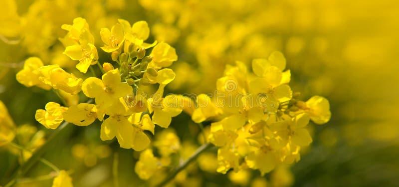 Flores da violação em um fundo amarelo do borrão imagens de stock royalty free
