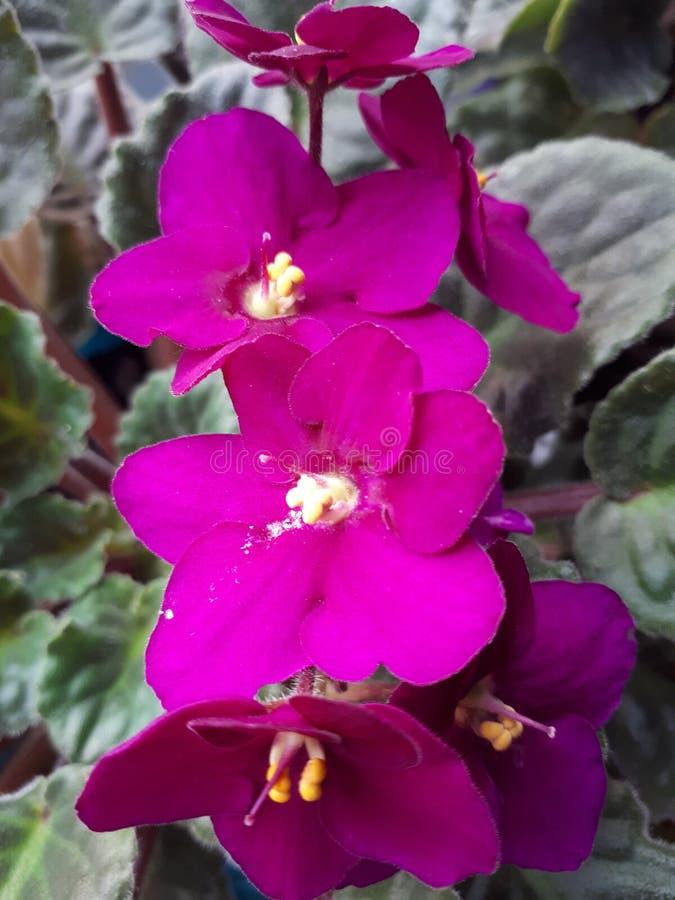Flores da violeta fotos de stock