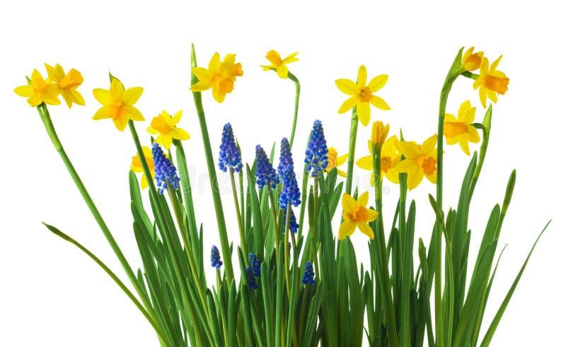 Flores daffodil y moscari aisladas sobre fondo blanco imagen de archivo libre de regalías