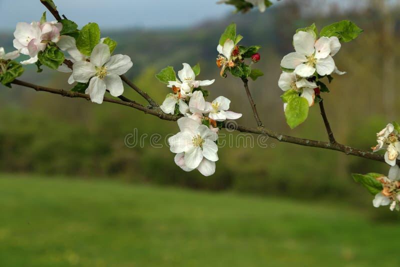 Flores das árvores de fruto no dia da primavera fotos de stock royalty free
