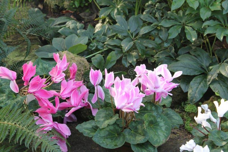 Flores das azáleas foto de stock