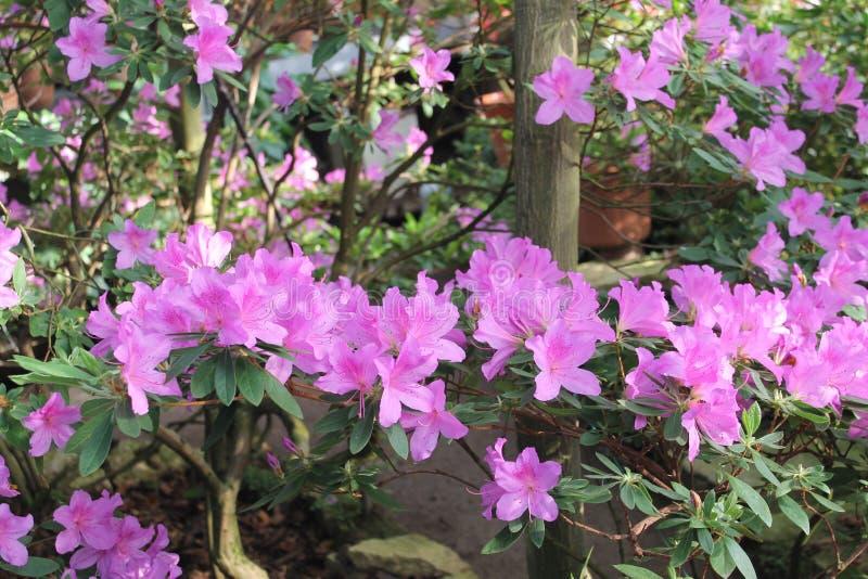 Flores das azáleas foto de stock royalty free