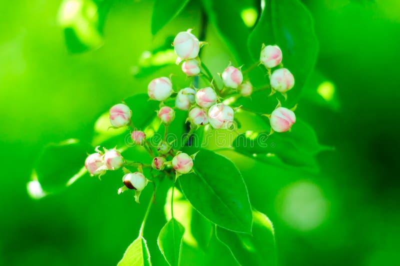 Flores das flores de cerejeira em um dia de mola imagens de stock royalty free
