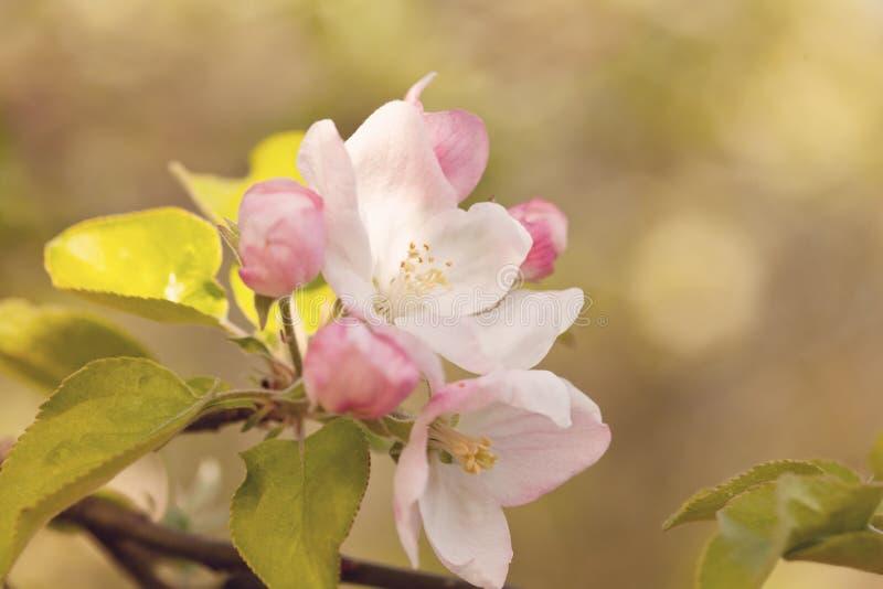 Flores das flores de cerejeira em um dia de mola fotos de stock royalty free