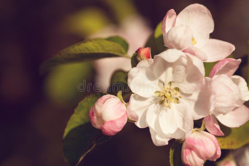Flores das flores de cerejeira em um dia de mola imagem de stock royalty free