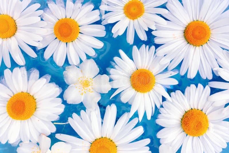 Flores das margaridas ou dos crisântemos na água fotografia de stock