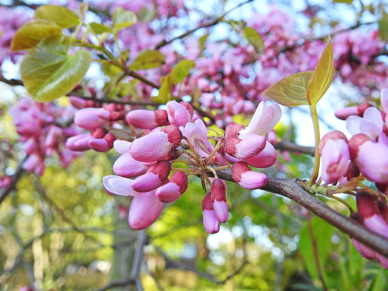 Flores das pétalas da flor de cerejeira do verão da mola da primavera no pomar das árvores do botão fotografia de stock royalty free