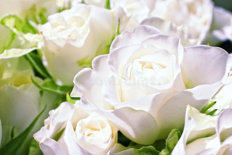 Flores das rosas brancas fotos de stock royalty free