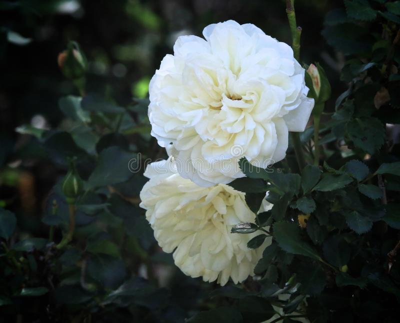 Flores das rosas brancas imagens de stock