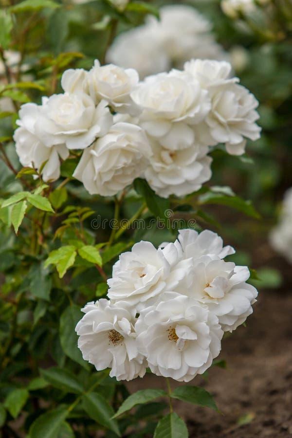 Flores das rosas brancas em um arbusto em um jardim botânico Foco seletivo nos botões mais baixos Quadro vertical imagens de stock royalty free