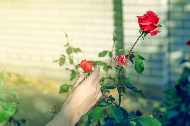 Flores das rosas no jardineiro da mulher do jardim fotos de stock