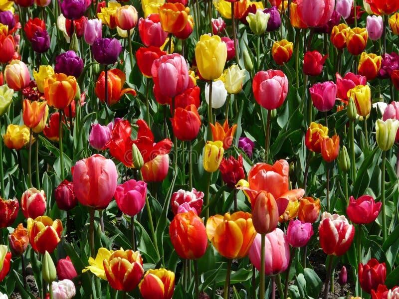 Flores das tulipas de Colourfull imagem de stock