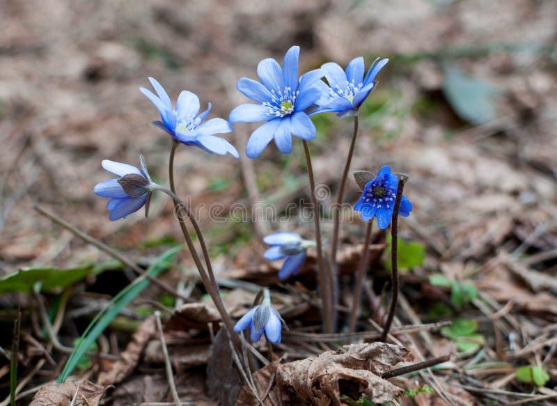 Flores das violetas da mola imagens de stock royalty free