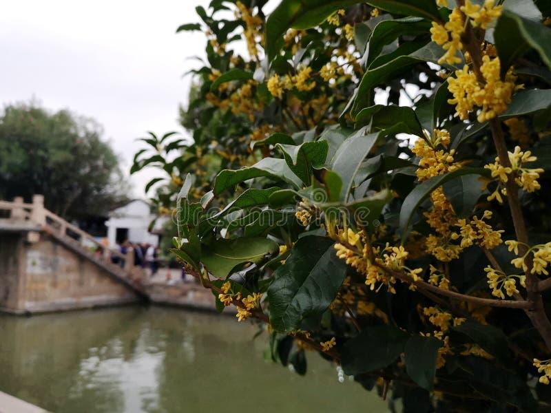 Flores de árvores de Osmanthus na China imagens de stock royalty free