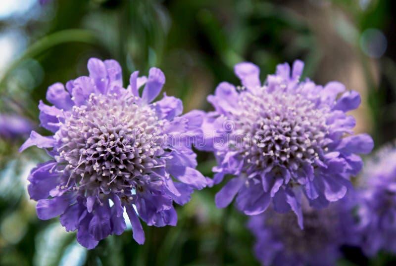 Flores de acerico azules de la mariposa, columbaria de Scabiosa fotos de archivo libres de regalías