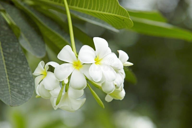 Flores de Acutifolia do Plumeria imagem de stock