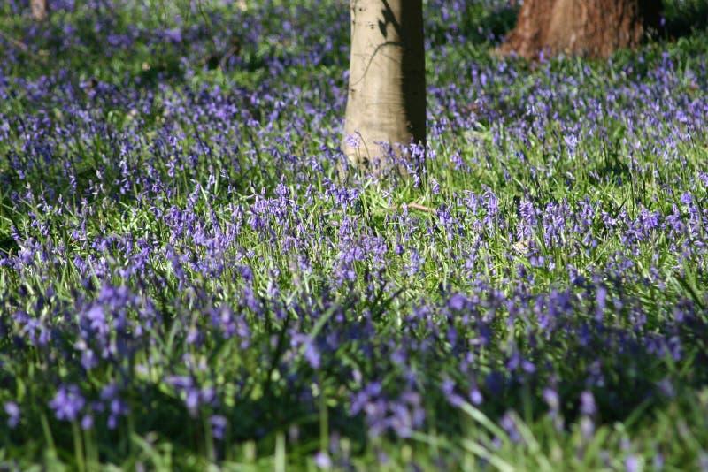 Flores de alarma azules del resorte foto de archivo