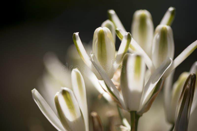 Flores de Albuca Nelsonii fotografia de stock