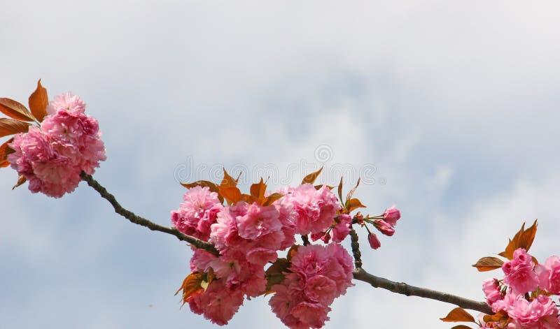 Flores de almendra imágenes de archivo libres de regalías