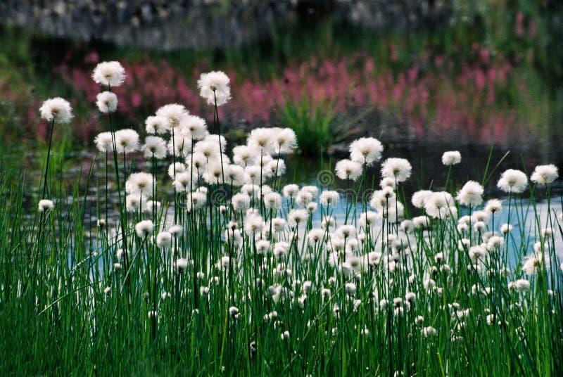 Flores de Altai fotografía de archivo libre de regalías