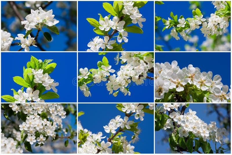 Flores de Apple foto de archivo libre de regalías