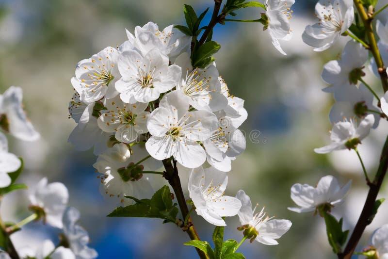 Flores de Apple fotos de archivo