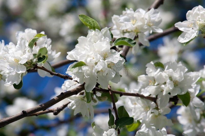 Flores de Apple fotografía de archivo