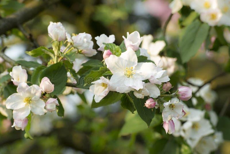 Flores de Apple fotos de stock royalty free