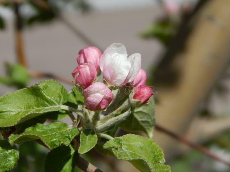 Flores de Apple aproximadamente a abrir fotografia de stock