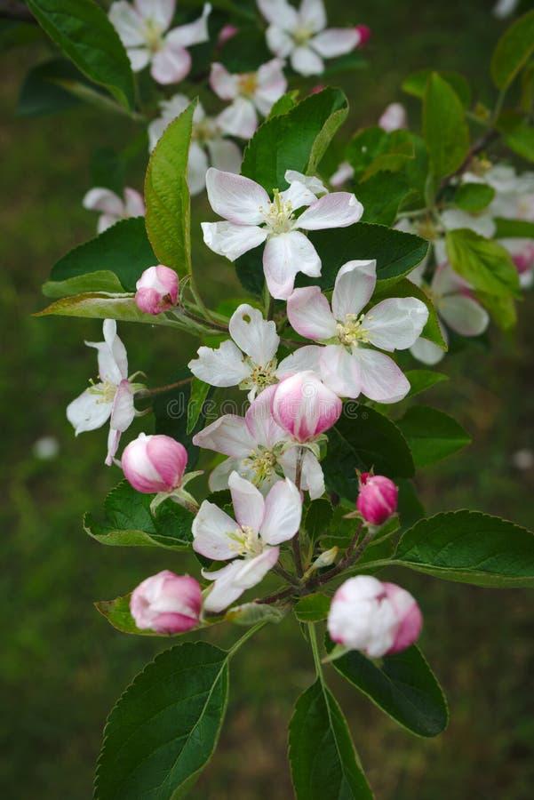 Flores de Apple en resorte imagenes de archivo
