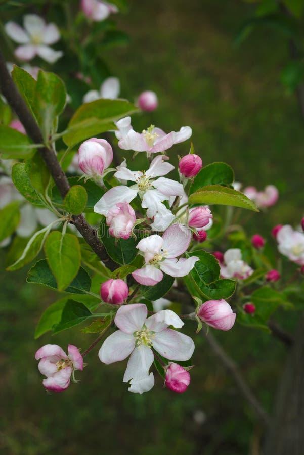Flores de Apple en resorte foto de archivo libre de regalías