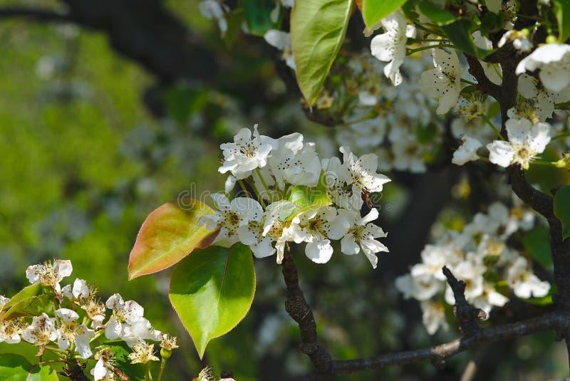 Flores de Apple en resorte fotografía de archivo libre de regalías