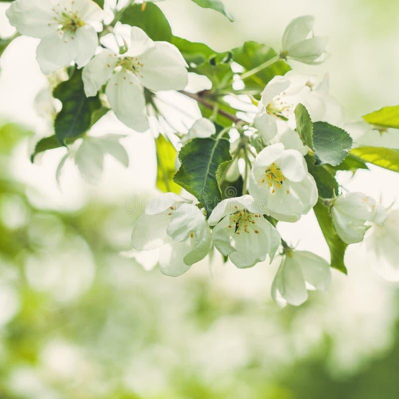 Flores de Apple de la primavera, hojas del verde y luz abstracta de Bokeh foto de archivo libre de regalías
