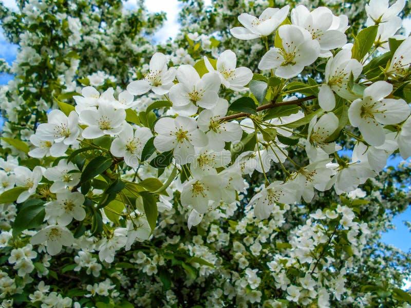 Flores de Apple na mola Ramos da árvore de florescência fotografia de stock