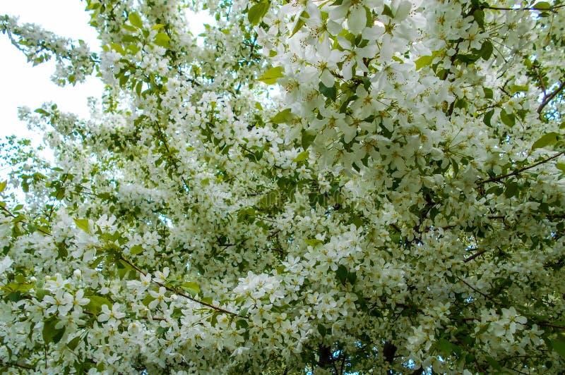 Flores de Apple na mola Ramos da árvore de florescência foto de stock