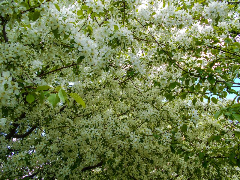 Flores de Apple na mola Ramos da árvore de florescência fotos de stock