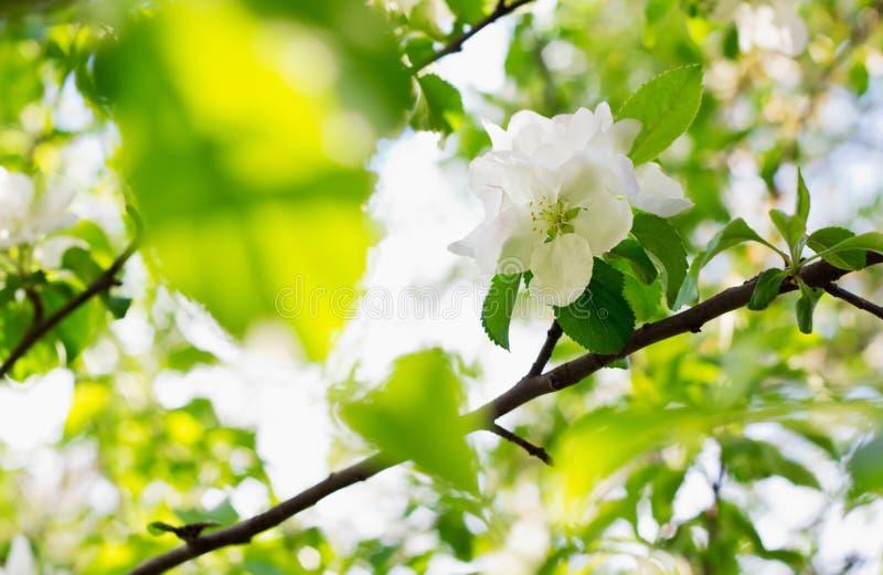 Flores de Apple sobre fondo borroso de la naturaleza fotografía de archivo