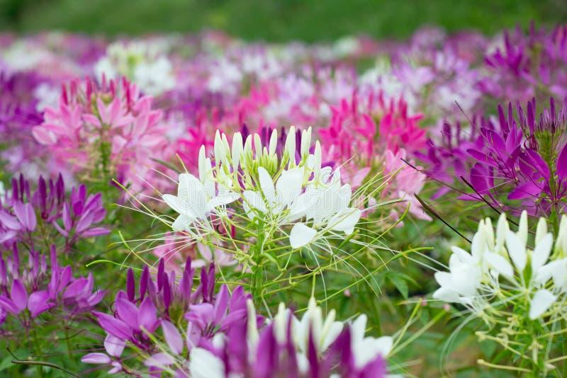 Download Flores de aranha foto de stock. Imagem de charming, cena - 29840270